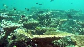 Erstaunliches Unterwasserleben des Meeresflora und -fauna im Meer von Malediven stock video