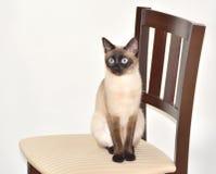 Erstaunte siamesische Katze auf Stuhl Stockfotografie