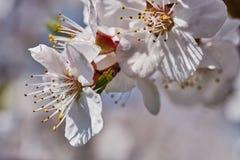 Erste Aprikosenblumen Stockfoto