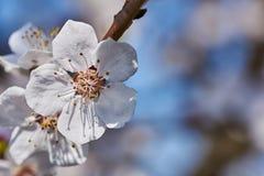 Erste Aprikosenblumen Stockfotos