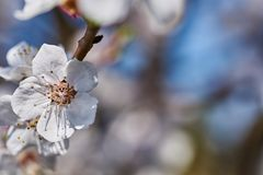 Erste Aprikosenblumen Lizenzfreies Stockfoto