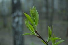 Erste Blätter Stockfoto
