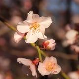 Erste Blüte des Frühlinges Lizenzfreies Stockfoto