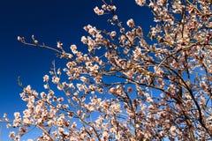 Erste Blüte des Frühlinges Lizenzfreies Stockbild