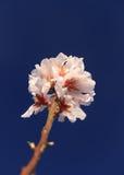 Erste Blüte des Frühlinges Lizenzfreie Stockfotografie