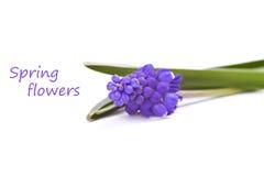 Erste blaue Frühlingsblumen Stockfotografie