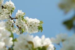 Erste Blumen Lizenzfreies Stockfoto