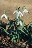 Erste Blumen, Frühlingshintergrund Stockfotos