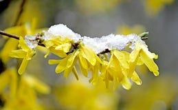 Erste Blumen und Schnee 3 Stockfoto