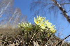 Erste Feldfrühlingsblumen stockbild