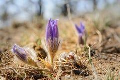 Erste Frühlingsblume Lizenzfreie Stockbilder