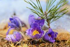 Erste Frühlingsblume und junge Kiefer Lizenzfreie Stockbilder