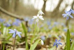 Erste Frühlingsblumen Stockfotografie
