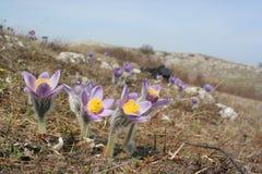 Erste Frühlingsblumen Stockfoto