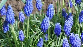 Erste Frühlingsblumen stock video footage