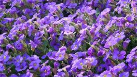 Erste Frühlingsblumen stock video