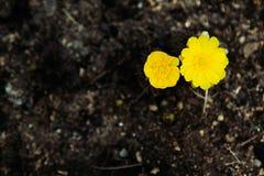 Erste Frühlingsblumen auf dunklem Boden Zwei Adonis-Blume Stockfotos