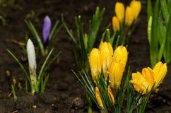 Erste Frühlingsblumen nach einem Regen. Lizenzfreie Stockfotos