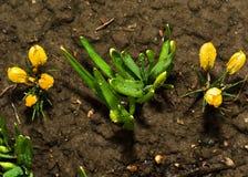 Erste Frühlingsblumen nach einem Regen. Lizenzfreies Stockfoto