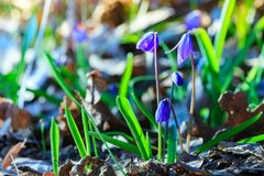 Erste Frühlingsblumen - Scilla Bifolia lizenzfreies stockfoto