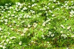 Erste Frühlingsgänseblümchen Stockfotos