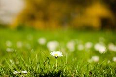 Erste Frühlingsgänseblümchen Lizenzfreie Stockbilder
