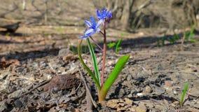 Erste Frühlingswaldblume im Sonnenlicht stock video