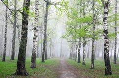 Erste Grüns im Nebelfrühlings-Birkenwald Stockfoto