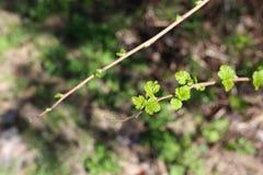 Erste kleine grüne Blätter des Frühlinges stockfotografie