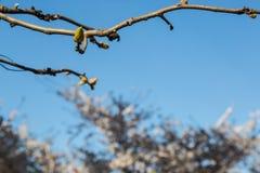Erste Knospen des Frühlinges Stockbild