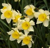 Erste Narzissen des Frühlinges stockbilder