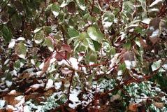 Erste Schnee- und Grünblätter Stockfoto