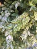 Erste Schneeflocken auf grünen Blättern stockfoto