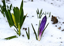 Erste zarte Frühlingsblumen Lizenzfreie Stockfotografie