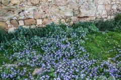 Erste Zeichen des kleinen purpurroten Blumenblühens des Frühlinges lizenzfreie stockfotos