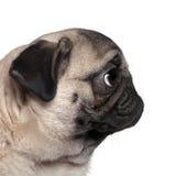 Erstellen Sie Ansicht eines Pug, 7 Monate alte ein Profil stockfotos