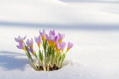 Erster blauer Krokus blüht, Frühlingssafran im flaumigen Schnee Lizenzfreie Stockbilder