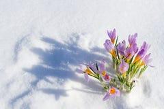 Erster blauer Krokus blüht, Frühlingssafran im flaumigen Schnee Stockbild