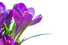 Erster Frühling blüht - Blumenstrauß von purpurroten Krokussen Stockbilder