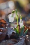 Erster Frühling blüht Schneeglöckchen lizenzfreies stockbild