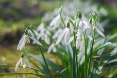 Erster Frühling blüht Schneeglöckchen an einem sonnigen Frühlingstag lizenzfreie stockbilder