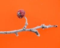 Erster Frost auf Äpfel Lizenzfreie Stockfotos