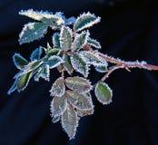 Erster Frost auf Pflanzenblättern Lizenzfreies Stockbild