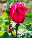 Erster Preis Rose Stockbild
