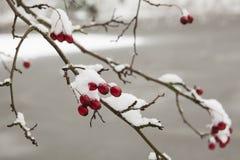 Erster Schnee auf den roten Beeren Lizenzfreies Stockbild