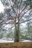 Erster Schnee im Holz am Tageslicht mit grünen Kiefern, Stockfotografie
