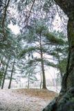 Erster Schnee im Holz am Tageslicht mit grünen Kiefern, Stockfotos