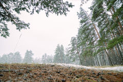 Erster Schnee im Holz am Tageslicht mit grünen Kiefern, lizenzfreie stockfotografie