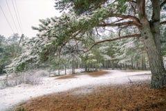 Erster Schnee im Holz am Tageslicht mit grünen Kiefern, stockbilder
