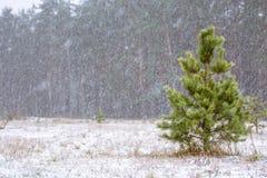 Erster Schnee im Holz am Tageslicht mit grünen Kiefern, lizenzfreie stockbilder